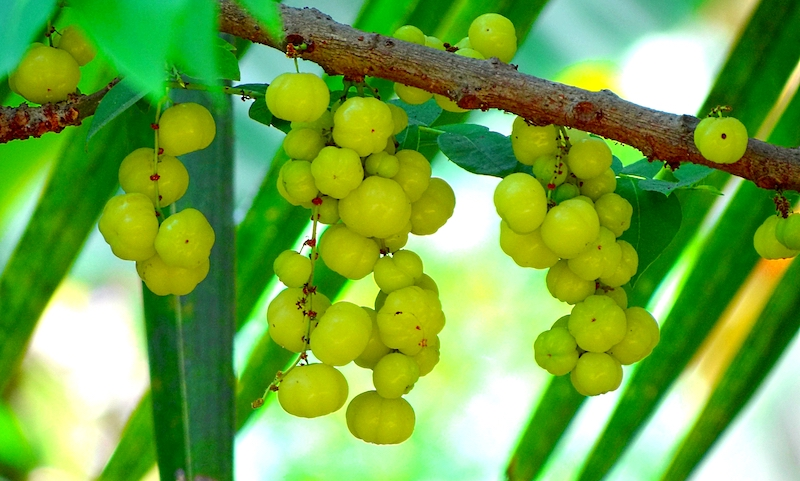 Indian Gooseberry Amla Athelio
